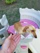 Dachshund Puppy For Sale in SAN ANTONIO, TX, USA