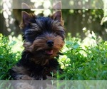 Yorkshire Terrier Puppy For Sale in HOLLYWOOD, FL, USA