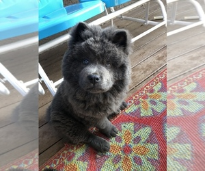 Chow Chow Puppy for sale in LA SIERRA, CA, USA