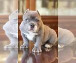 Small Photo #10 American Bully-American Pit Bull Terrier Mix Puppy For Sale in DRACUT, MA, USA