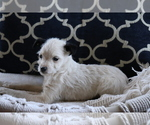 Small #3 Fox Terrier (Smooth)-Poodle (Miniature) Mix