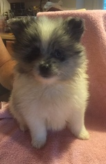Pomeranian Puppy for sale in THOMASVILLE, GA, USA