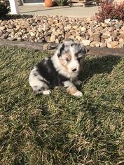 Australian Shepherd Puppy For Sale in ZWINGLE, IA, USA