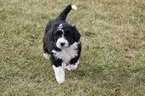Aussiedoodle Puppy For Sale in POLK, Ohio,