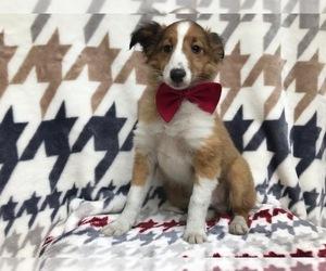 Shetland Sheepdog Puppy for sale in KIRKWOOD, PA, USA