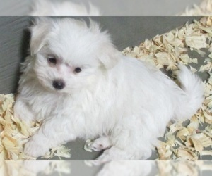 Maltese Puppy for Sale in CARROLLTON, Georgia USA