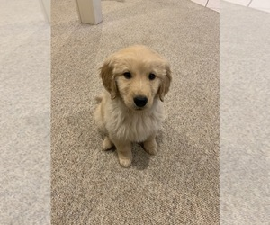 Golden Retriever Puppy for Sale in ROBESONIA, Pennsylvania USA