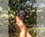 Small #23 Xoloitzcuintli (Mexican Hairless)