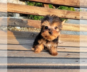 Yorkshire Terrier Puppy for Sale in SANTA CLARITA, California USA