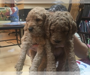 Goldendoodle Puppy for sale in HAYDEN, ID, USA