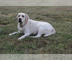 Labrador Retriever Puppy for sale in ROCKWOOD, TN, USA
