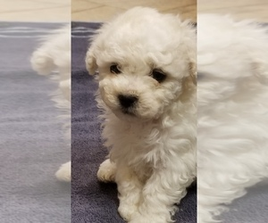 Zuchon Puppy for Sale in SHAWNEE, Kansas USA