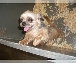 Shih Tzu Dogs for adoption in CARROLLTON, GA, USA