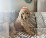 Small #3 Goldendoodle Mix
