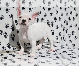 French Bulldog Dog for Adoption in ATHERTON, California USA