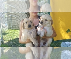 Golden Retriever Puppy for sale in MANCHESTER, IA, USA