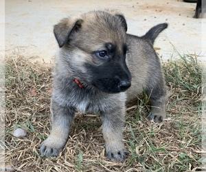 German Shepherd Dog Puppy for sale in LEXINGTON, KY, USA