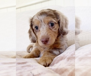 Dachshund Puppy for Sale in EAST EARL, Pennsylvania USA