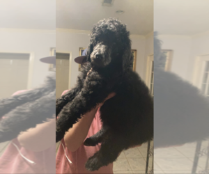Poodle (Miniature) Puppy for sale in BHAVEN, MS, USA