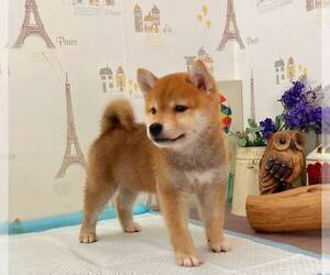 Shiba Inu Puppy for sale in IRVINE, CA, USA