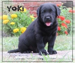 Labrador Retriever Puppy for Sale in BULLTOWN, Pennsylvania USA