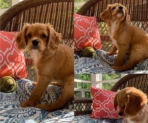 Cavapoo Puppy for sale in VIRGINIA BCH, VA, USA