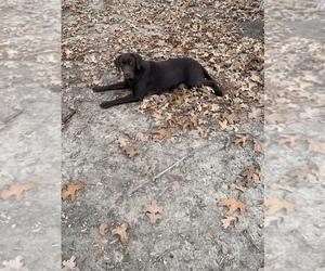 Mother of the Labrador Retriever puppies born on 09/30/2020