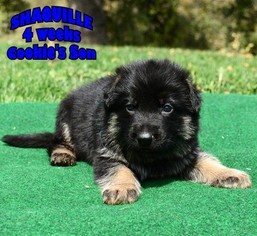 German Shepherd Dog Puppy For Sale in MURRIETA, CA, USA