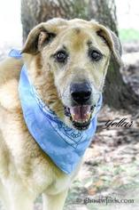 Yeller - Golden Retriever / Yellow Labrador Retriever / Mixed Dog For Adoption