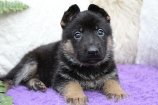 German Shepherd Dog Puppy For Sale in OCALA, FL, USA