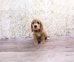Small #1 Cocker Spaniel