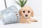 Nick Male CavaPoo Puppy