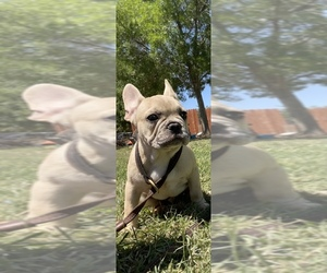 French Bulldog Puppy for sale in GERBER, CA, USA
