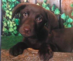 Labrador Retriever Puppy for sale in JASPER, GA, USA