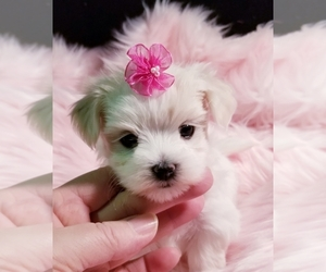 Maltese Puppy for Sale in GROVE CITY, Pennsylvania USA