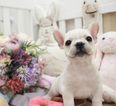 French Bulldog Puppy For Sale in SAN JOSE, CA,