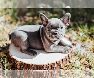 French Bulldog Puppy for Sale in COCOA, Florida USA