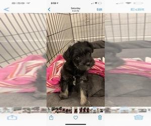 Schnauzer (Miniature) Puppy for sale in CUTLER BAY, FL, USA