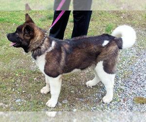 Akita Dog for Adoption in PUY, Washington USA