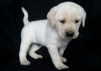 View Ad Labrador Retriever Puppy For Sale Pennsylvania Denver Usa