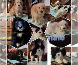 Sheepadoodle Puppy for Sale in TULARE, California USA