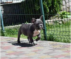 French Bulldog Dog for Adoption in PHILA, Pennsylvania USA