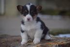 Pembroke Welsh Corgi Puppy For Sale in FREDERICKSBURG, OH,