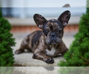 French Bulldog Puppy for sale in WOOD DALE, IL, USA