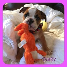 Bulldog Puppy For Sale in CRANSTON, RI