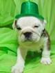 English Bulldog Puppy For Sale in HAMILTON, OH, USA