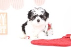 Havashu Puppy For Sale in NAPLES, FL, USA