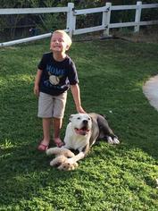 Sparta - American Staffordshire Terrier / English Bulldog / Mixed Dog For Adoption