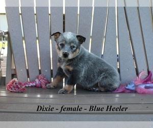 Australian Cattle Dog Puppy for sale in CLARKRANGE, TN, USA