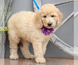 Poodle (Standard) Puppy for Sale in GAYLORD, Minnesota USA